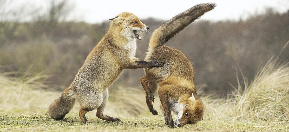 Comedy Wildlife Photography Awards 2019-k frogatzen du fauna ederki dibertigarria izan daitekeela