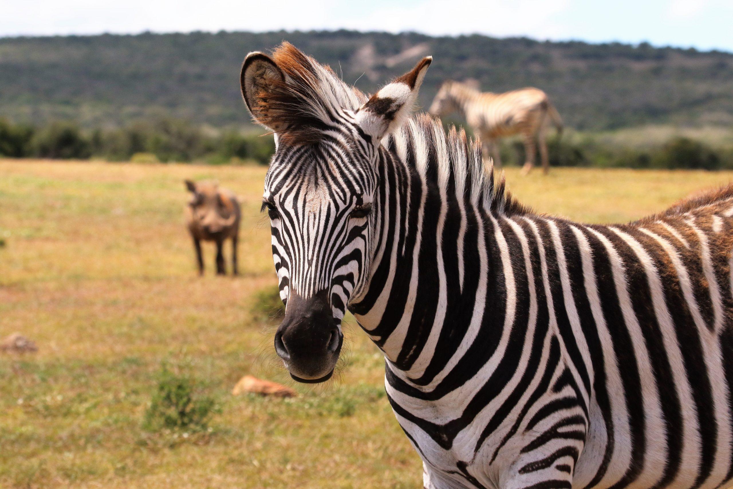 Zebra hanburgesak, hau da, haragi artifizialaren abantaila zakarrak