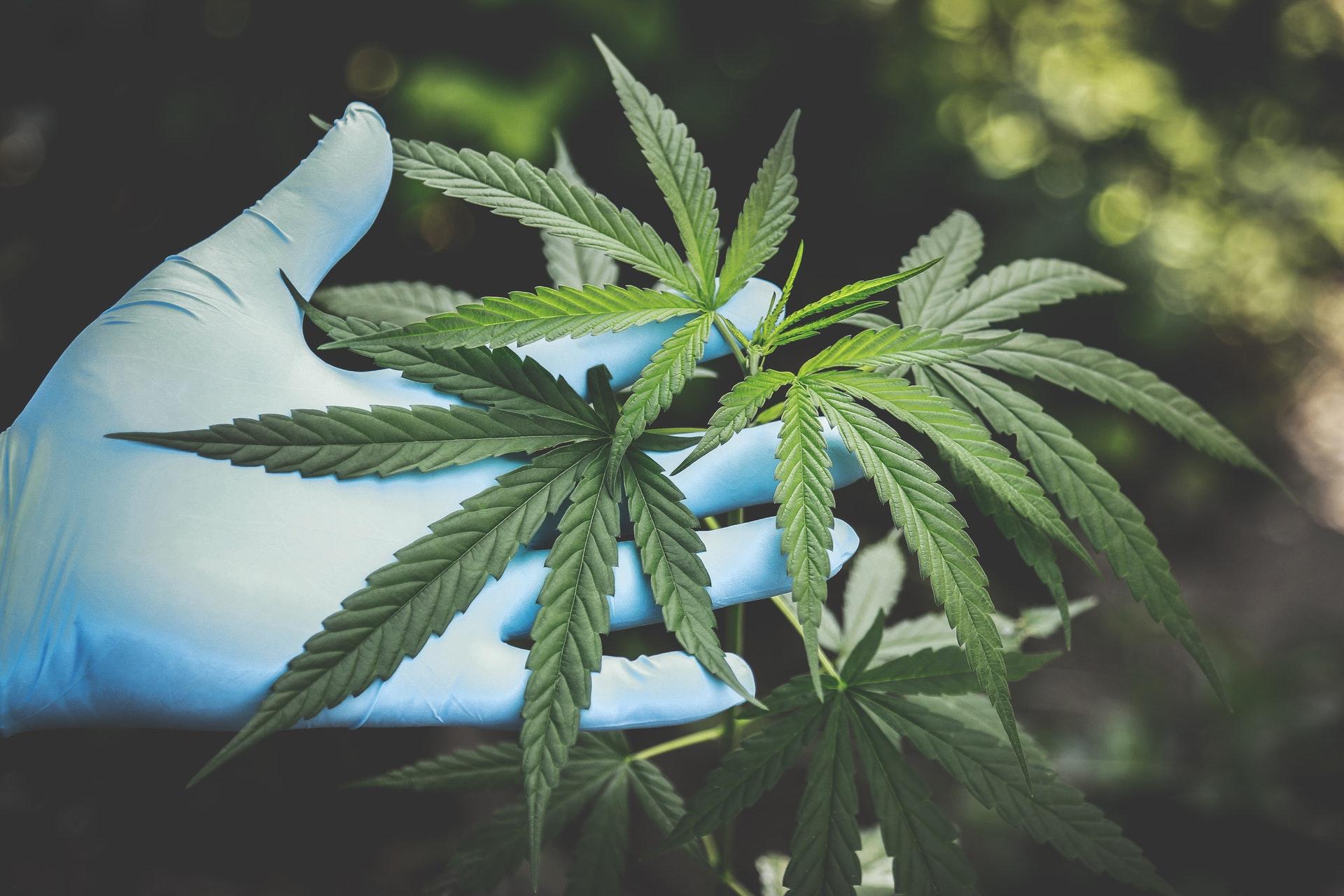 Cannabisak COVID-19ri aurre egiten lagun diezaioke.  Emaitzak itxaropentsuak dira