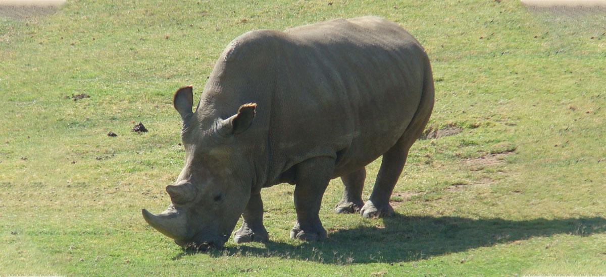 Iparraldeko rinocerontzi zuria ez dago jada, baina zientzialariek espeziea berreskuratu nahi dute.  Hiru enbrioia dituzte